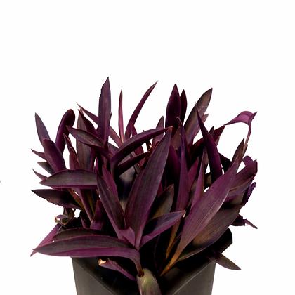 Setcresia Purpurea (Purple Heart)