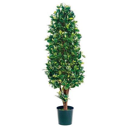 Ficus Cone Topiary