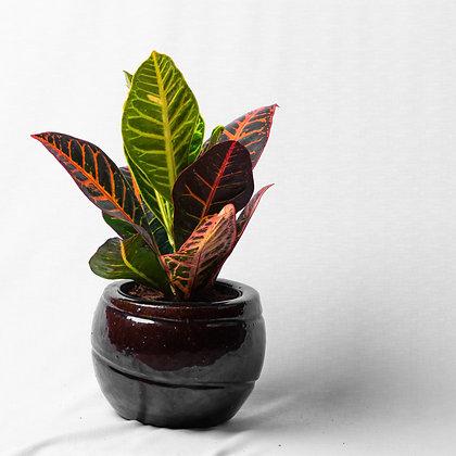 Codiaeum Variegatum (Croton)