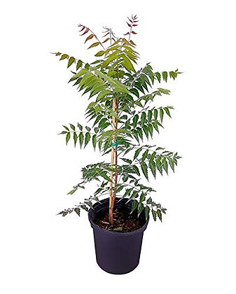 Azadirachta Indica (Neem Tree)