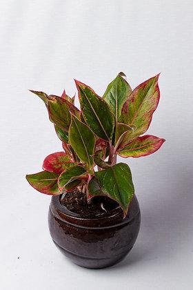 Aglaonema Crete (Chinese Evergreen Pink)