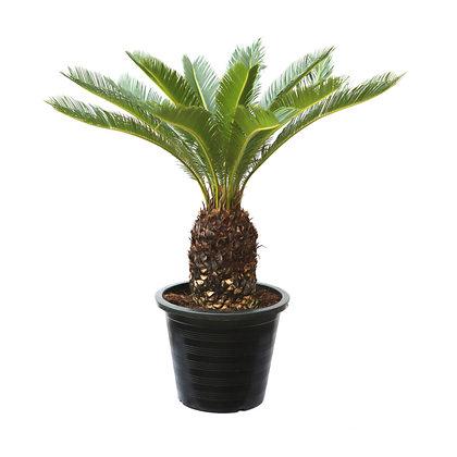Cycas Revoltua (Sago Palm)