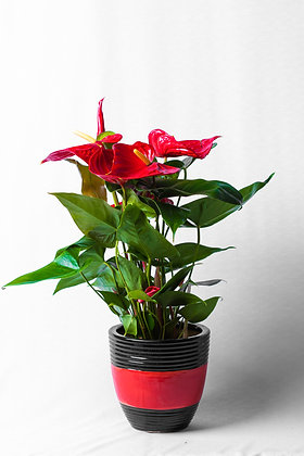 Anthurium (available in multiple colors)