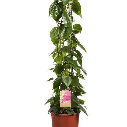 Philodendron Scandens 100cm