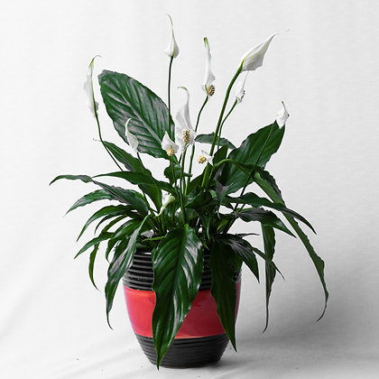 Spathiphyllum Sweet Chico (Peace Lily)