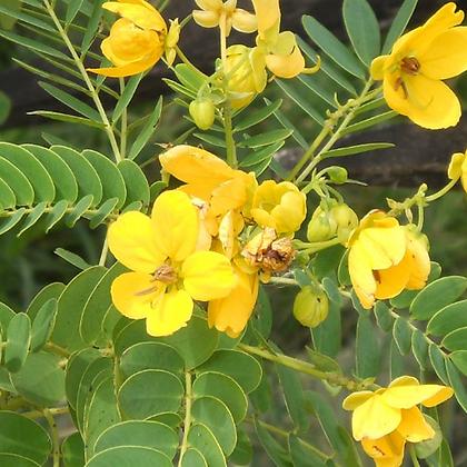 Cassia Suranttensis