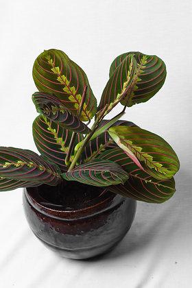 Maranta Fascinator (Prayer Plant)