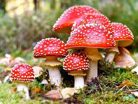Amanita Muscaria and Fly Agaric Mushroom (originally posted 2015)