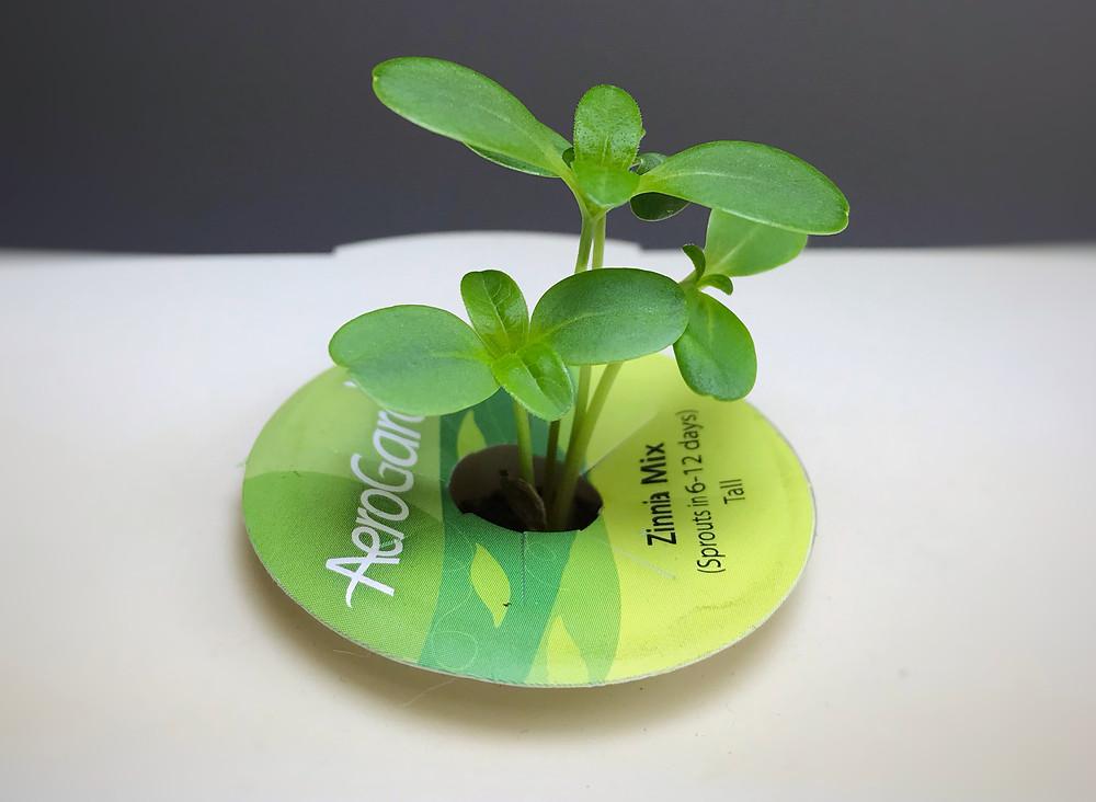 an aerogarden pod of a sprouting zinnia plant