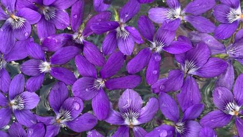 élixir violette sauvage