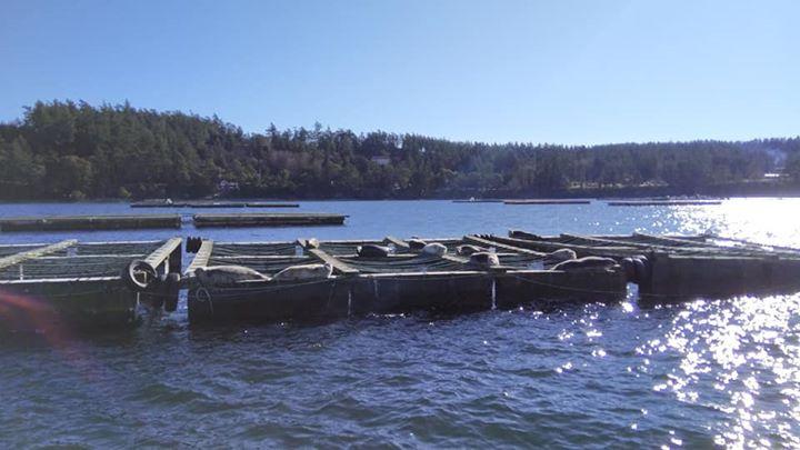 Harbor Seals resting on a raft
