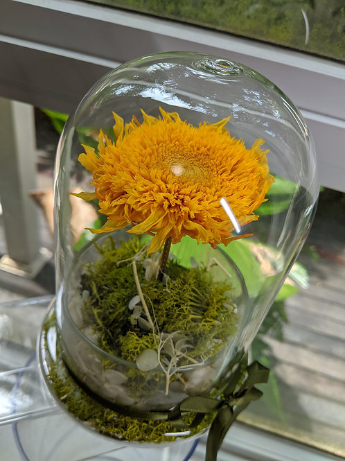 Preserved Sunflower in Glass Dome