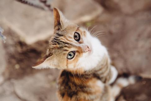 Cat of Egypt