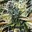 Thumbnail: Blueberry Diesel x Triple OG