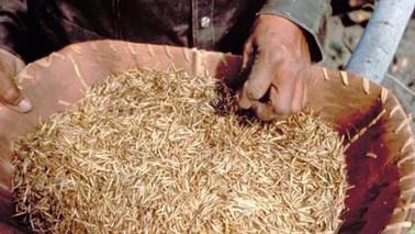 Wild Rice as a Medicine