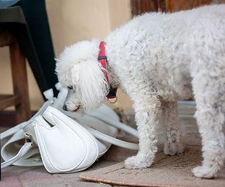 Poodle Sniffing Bag.jpg