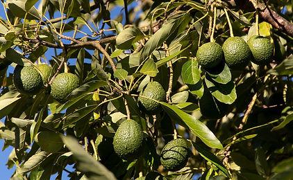 hass-avocado-3594376_1920.jpg