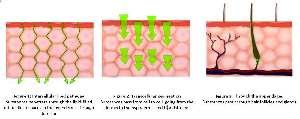 Dermal absorption of skincare products