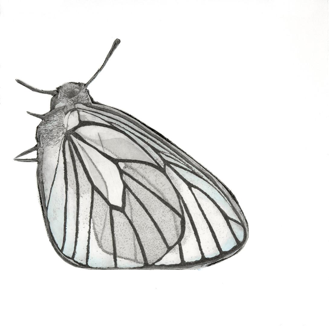 Papillon II