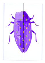 Coleotera Ironae