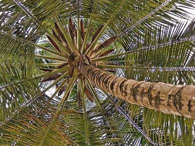 coconut-palm-1810154_960_720.jpg