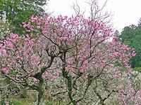 【2017年 成田の梅まつり】日にち、開花状況は?