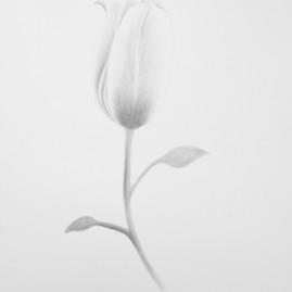Half Awake Tulip.jpg