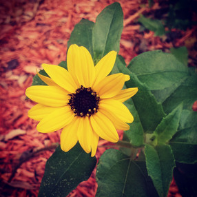 Sunflower Copycat.jpg