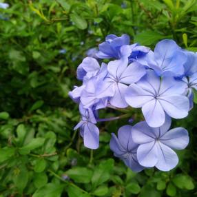 Soft Blue Petals Modified.jpg
