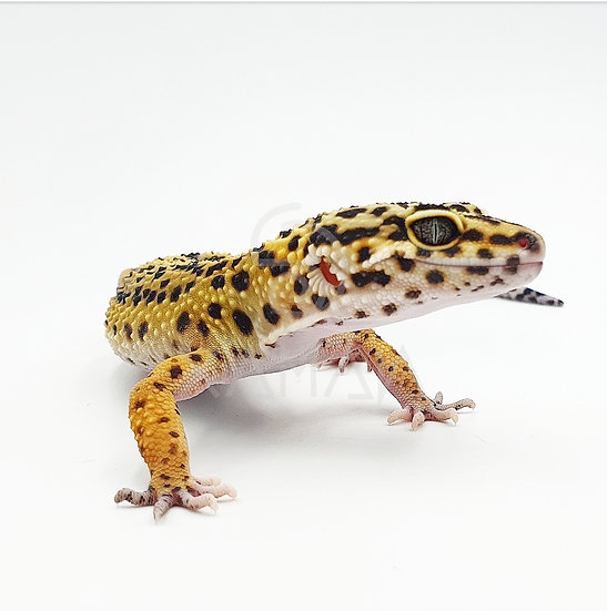 Gecko Leopardo High Yellow M