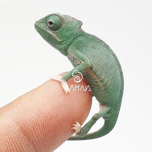 Camaleón de Velo Translucent