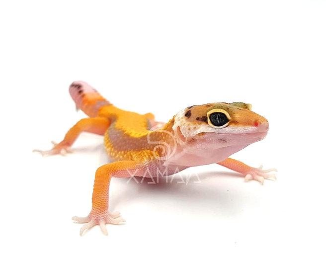 Gecko Leopardo Striped Designer