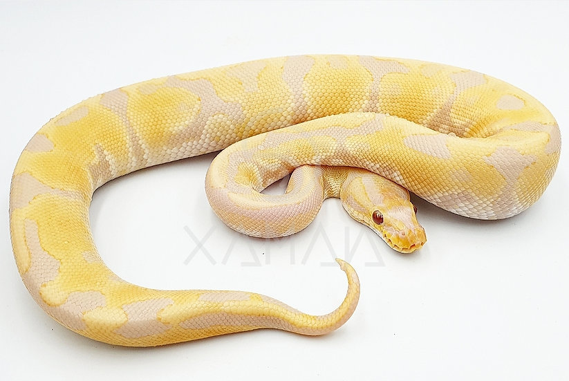 Toffino Albino Macho 150gr