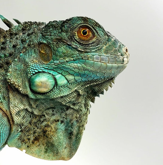 Iguana Fase Azul SubAdulta