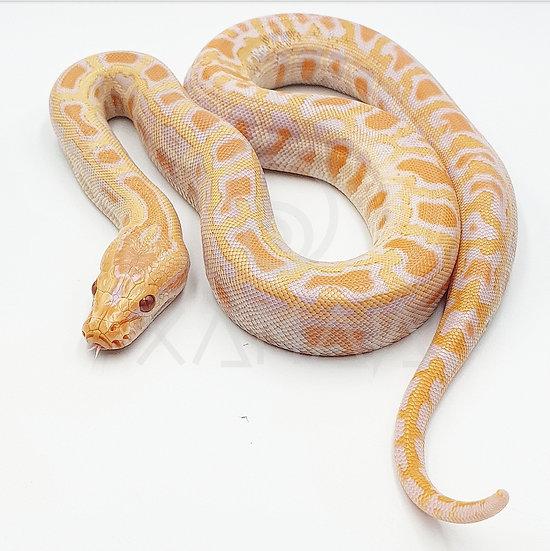 Albino 66% Poss Het Laberinto H ID02