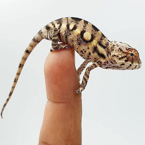 Camaleón Pantera Sambava 10-12 cm