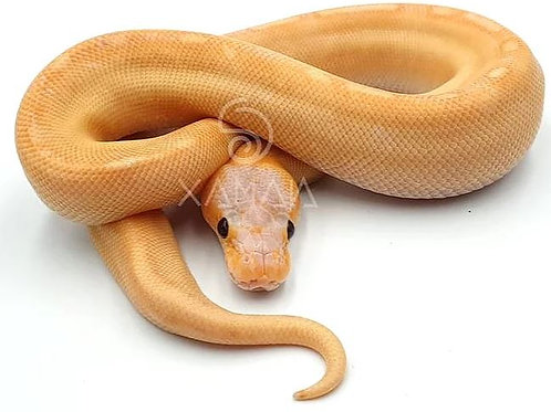 Banana Champagne Het Clown