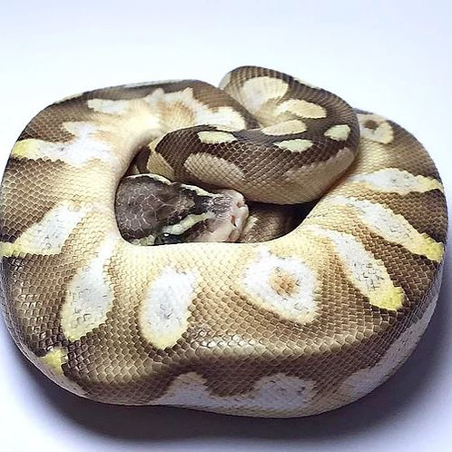 Pastel Calico Butter