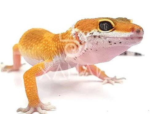 Gecko Leopardo Súper Hypo Carrot Tail