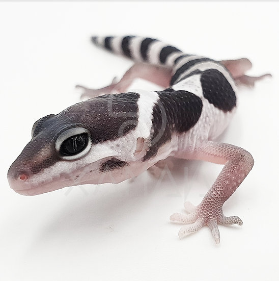 Gecko Leopardo Mack Snow