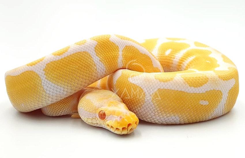 Albino (H)