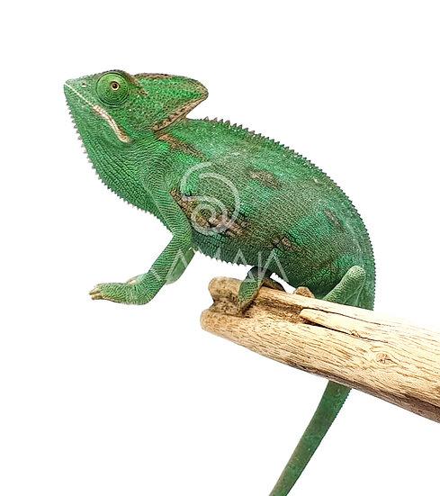 Camaleón de Velo Cria 12-15 cms