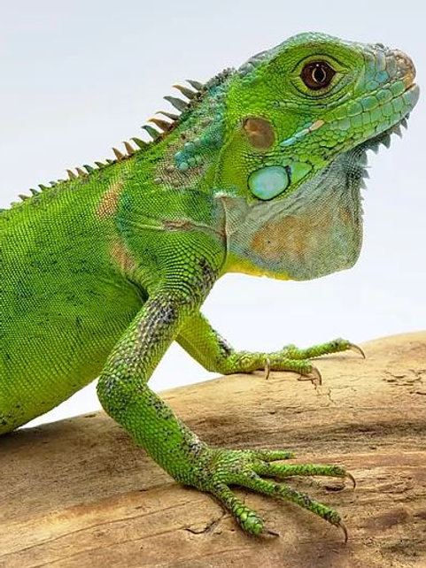 Iguana Verde Juvenil