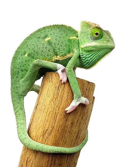 Camaleón de Velo Translucent 12-15 cms