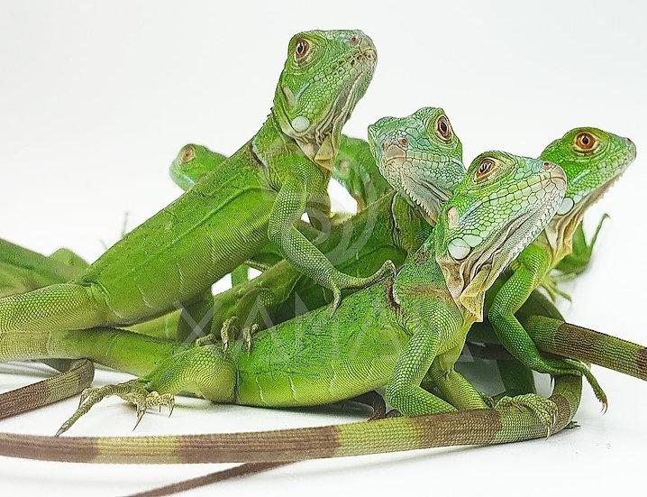 Iguana Verde Cría s/s