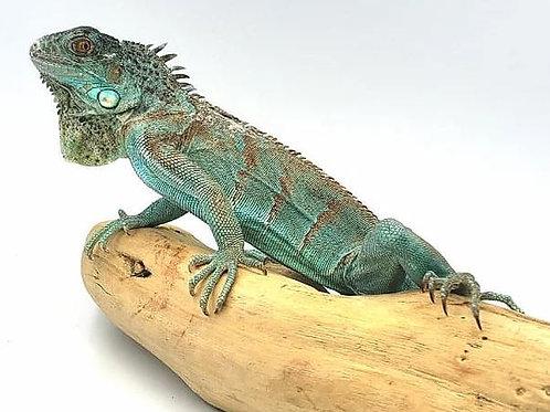 Iguana Azul Juvenil M