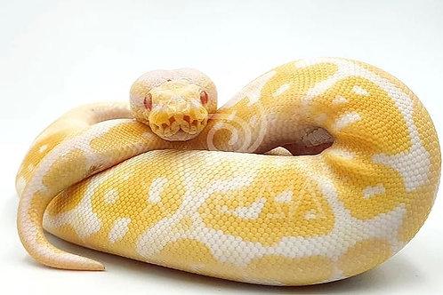 Albino High Contrast