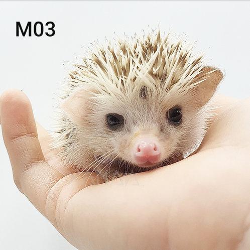 ERIZO MACHO 2