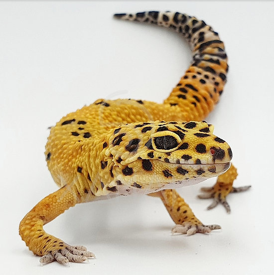 Gecko Leopardo Tangerine M