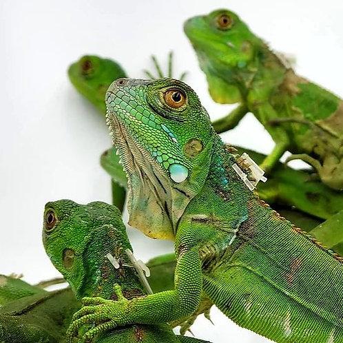 Iguana Verde Cría